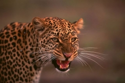 Tracking Leopard