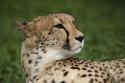 thumb_2_cheetah.jpg