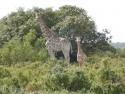 thumb_2_giraffe.jpg
